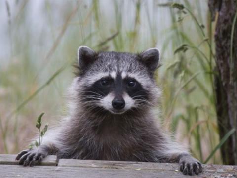 Атака Raccoon позволяет взломать TLS-соединения и перехватить данные