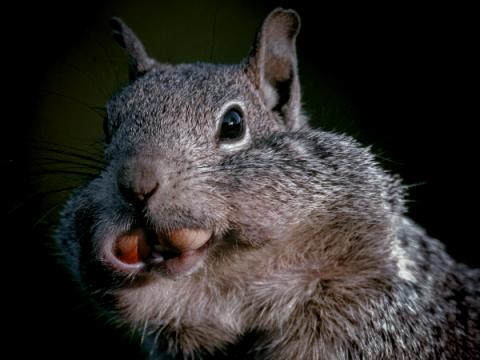 Вредонос Squirrelwaffle пришёл на смену Emotet для дропа Cobalt Strike